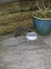 HolderHedgehog drinking, Whitnash by Mark Garrett