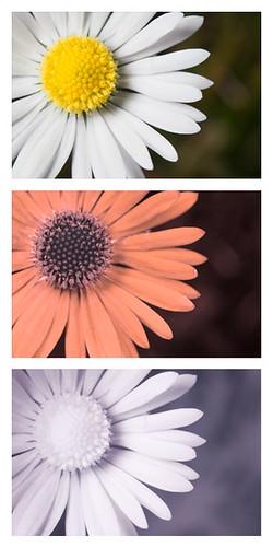 Daisy flower Bellis perennis [Vis UV IR] by davidkennardphoto