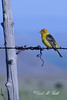 Tanager on wire DSC_2025-f
