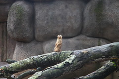 A meerkat pausing for a look around