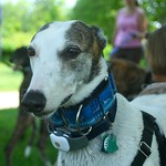 Greyhound Adventures at Webb Memorial State Park, Weymouth MA  June 23rd 2013