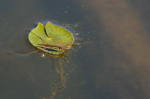 <p>Gerridae<br /> Grant Narrows, Pitt Meadows, British Columbia, Canada<br /> Nikon D5100, 70-300 mm f/4.5-5.6<br /> June 30, 2013</p>