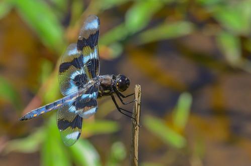 <p><i>Libellula forensis</i>, Libellulidae<br /> Grant Narrows, Pitt Meadows, British Columbia, Canada<br /> Nikon D5100, 70-300 mm f/4.5-5.6<br /> June 30, 2013</p>
