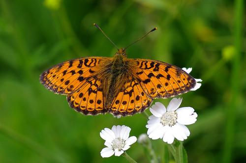 fauna butterfly estonia pentax eesti k7 liblikas brenthisino lessermarbledfritillary pentaxk7 luhatäpik