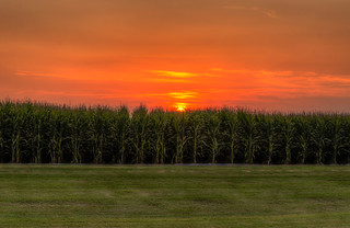 GMO corn and sunset