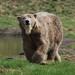 Eisbärenfütterung mit Ilka und ihren Zwillingen in Kolind