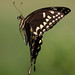 Palamedes Swallowtail In Flight by Juggler Jim