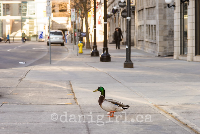 Urban duck about town