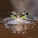 Rã-Verde, Perez's Frog (Rana perezi/Pelophylax perezi ) - em Liberdade [in Wild] by xanirish
