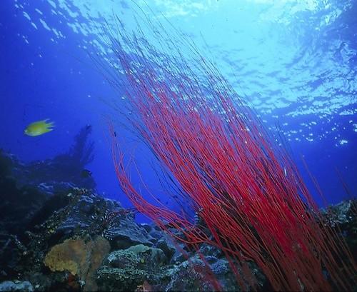 紅海鞭,攝於巴布亞紐幾內亞。©Gapowell
