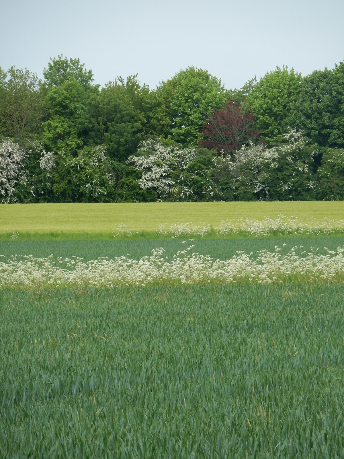 Shades of Green with cow parsley fringe Bures to Sudbury