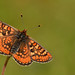 Marsh Fritillary - Euphydryas aurinia by Pete Withers
