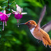 Rufous and Fuchsias...... by P C Chang