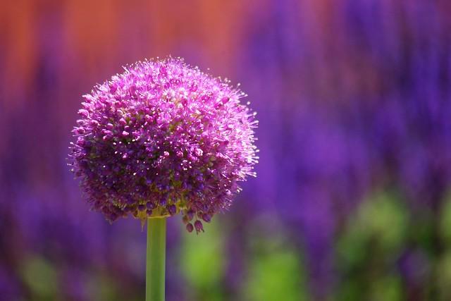アリウム・ギガンテウム/Allium giganteum