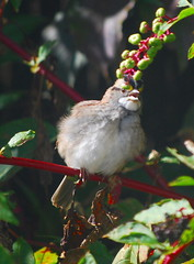 White-Throated Sparrow Impersonating Carmen Miranda