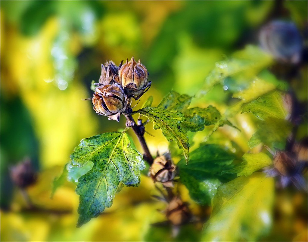 Waiting For The Rose Of Sharon To Drop Her Leaves...Then I Can Prune. canon, 6d, rose, sharon. buy photo