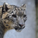Snowleopard - Olmense Zoo