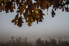 November Sights: Oak Leaves Above a Foggy Field