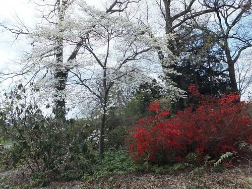 Dogwood and Azaleas