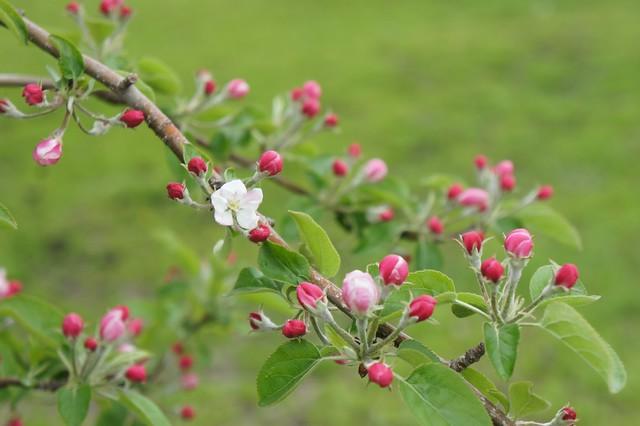 りんごのつぼみ_王林(2012年5月)