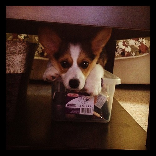 My little rascal hiding under the coffee table.  #corgi #corgistagram #puppy