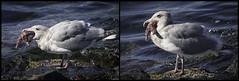 Gulls + Sea Stars