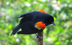 Red-winged Blackbird red shoulders