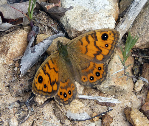 Wall Brown. Lasiommata megera