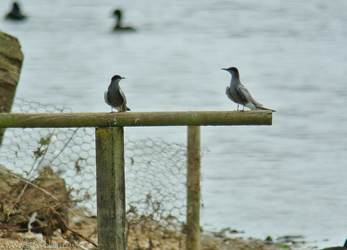 Black Terns at Broom GP