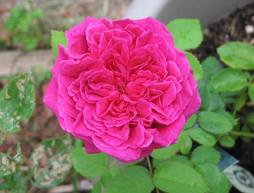 "David Austin English Rose ""William Shakespeare 2000."" by Leenechan"