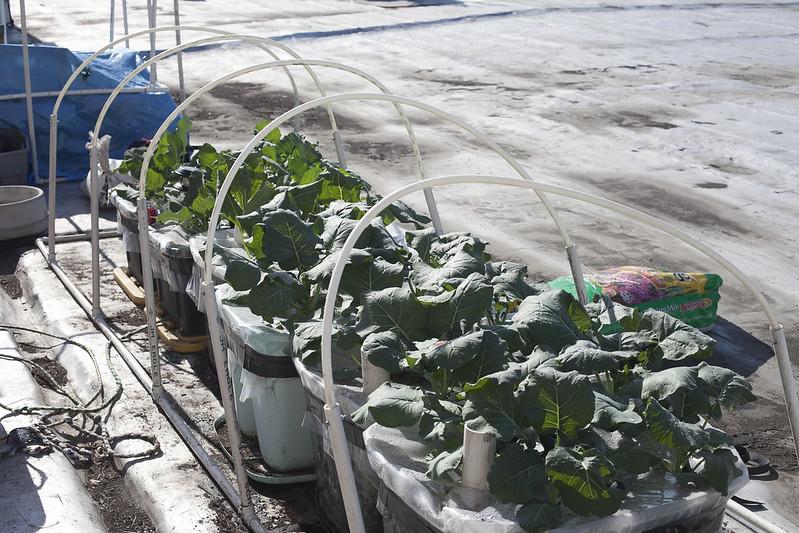 broccoli harvestIMG_1230