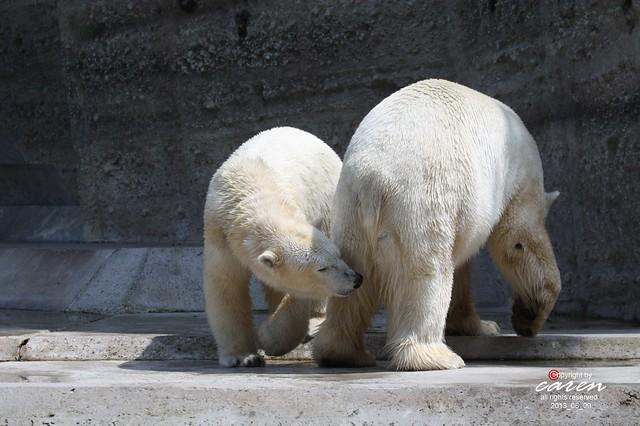 34 Eisbären Giovanna&Yoghi 2013_06_12 362