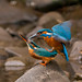 Mating kingfishers16th June by den9112
