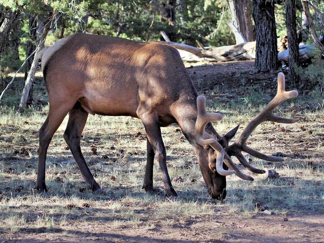 Elk 3-20130618