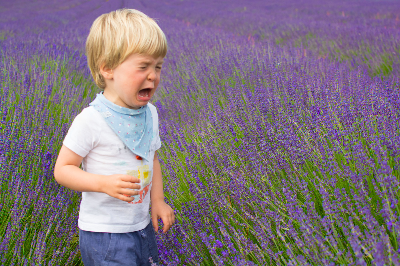 Theo in the lavender fields