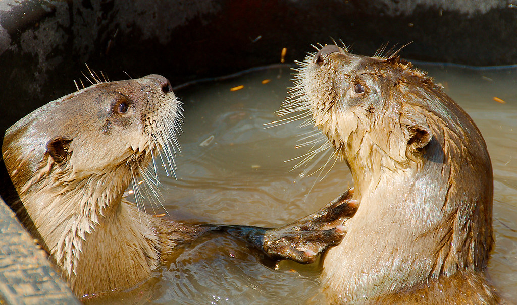 North American River Otter (Lontra canadensis)_24