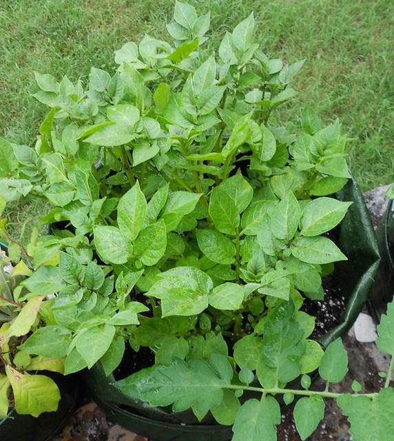 Potato plants 10 July 2013