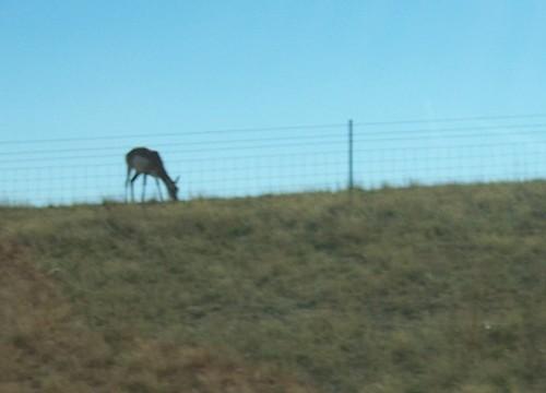 Antelope near Moneta WY