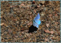 Blue Copper Colorado Butterfly photography by Ron Birrell, DSC_4195