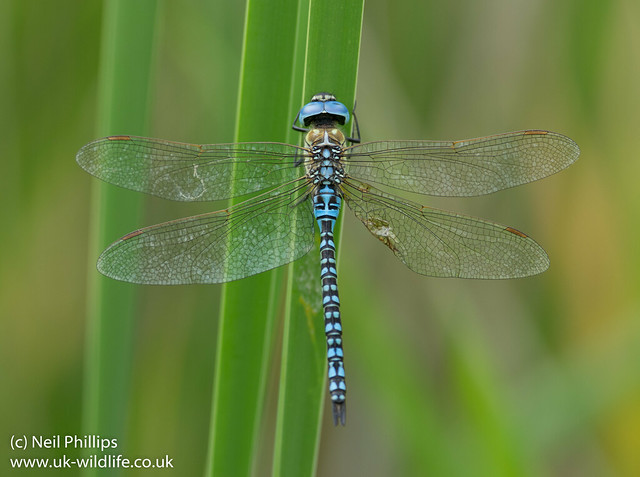Southern migrant hawker Aeshna affinis-5