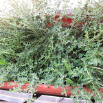 thyme planting in Back Porch Herb Garden by mamagotcha
