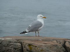 Sea Gull SERC Maine