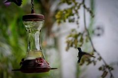 hummingbird, flower, branch, macro photography, flora, green, bird feeder, close-up, bird,
