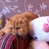 I don't know what I've done, but it's obviously not good... #martin #ginger #persian #persiancat #cat #hellokitty