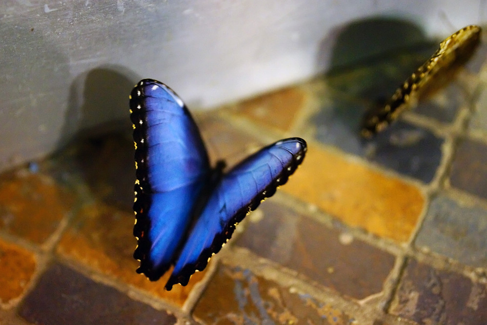 美洲蛺蝶 Morpho peleides-3