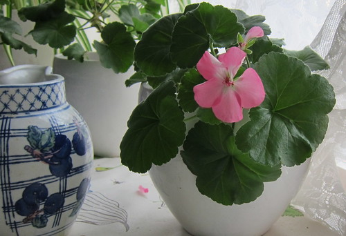 Pelargonia by Anna Amnell