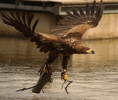 Mara, the Sea Eagle captures the lure, from the water at the Falkirk Wheel...