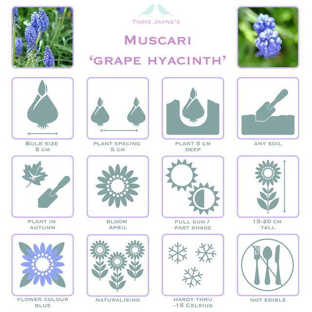 Muscari Grape Hyacinth details-01
