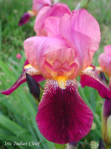 Iris 'Indian Chief'