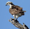 Osprey Pandion haliaetus by mpp26